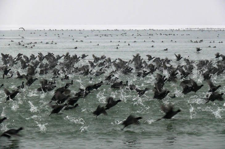 Animal Migration Photos - Moorhens In Winter Time At Lake Balaton