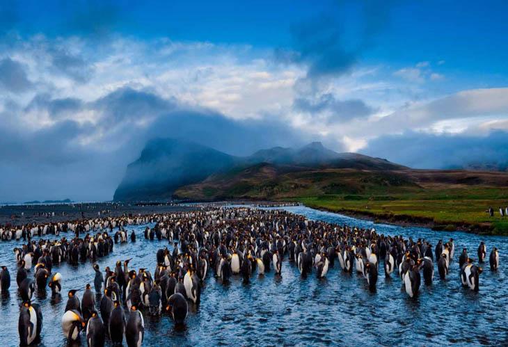 King penguins in Possession Island
