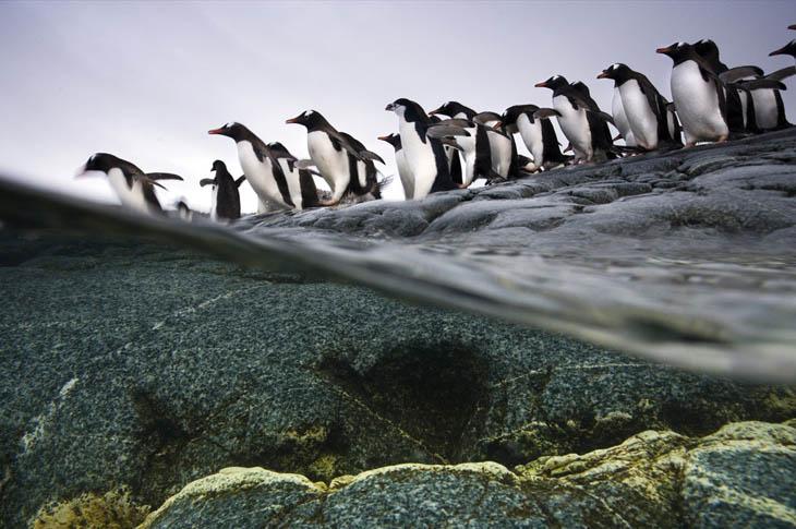 Animal Migration Photos - Gentoo penguins in Antarctica