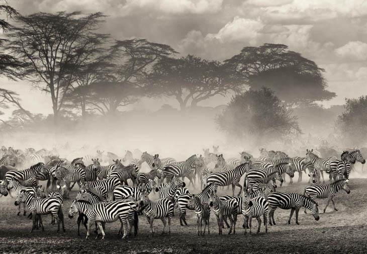 Animal Migration Photos - Zebras in Tanzania