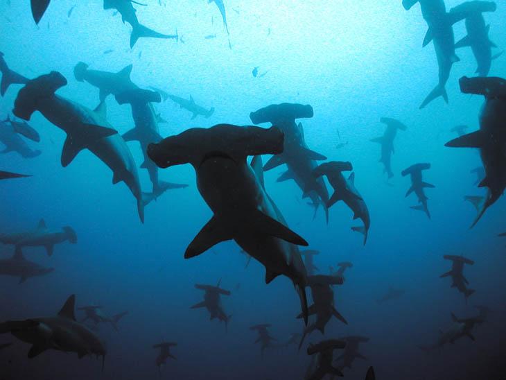 Scalloped Hammerhead Sharks, Galapagos islands