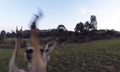 This Kangaroo Knows How To Take Down Snooping Drone Trying To Spy On Its Family.