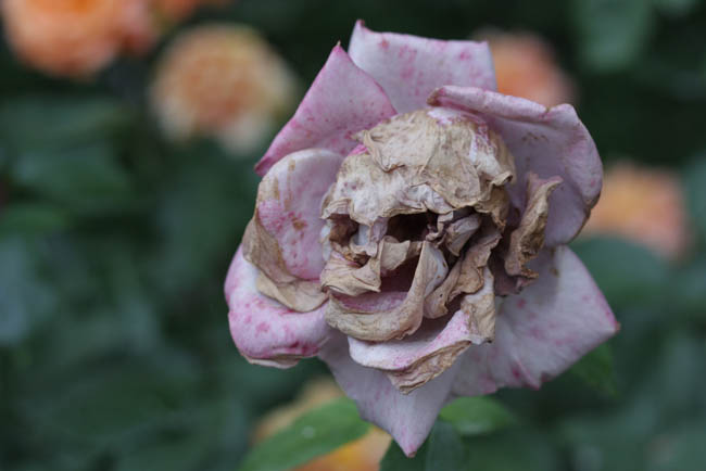 A Rose That Decayed Into A Skull