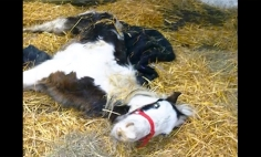 This Baby Horse Was Dying, Now He Proves To Be A MIRACLE! MUST SEE!