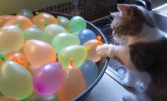 Watch This Kitten Playing With Water Balloons. This Will Leave You In Stitches!