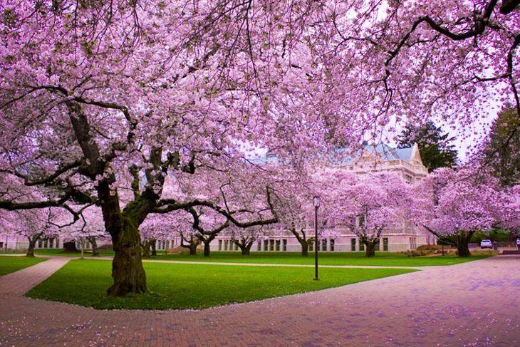 Weird urban myths - Washington D.C.'s cherry blossom trees were a gift from the Japanese.