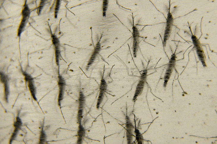 Weird urban myths - Genetically altered mosquitoes are a thing of the future - and the future is now.