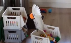 They Gave A Cup To Their Cockatoo. And Then? Unexpected Happens!
