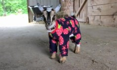 This Baby Goat Will Have You Laughing like Crazy In Just 15 Seconds!