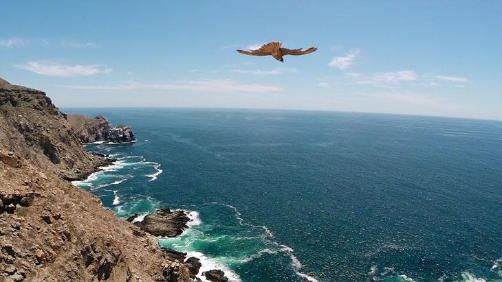 Peregrine falcon flying in the Pacific Ocean in Baja California Sur.