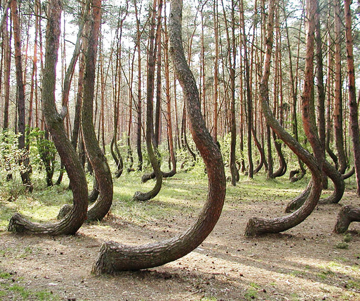 The Crooked Forest in West Pomerania, Poland that has over 400 bent pine trees.