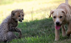 Horse And Grass Can't Be Friend, But Cheetah And Dog Totally Can! Watch This!