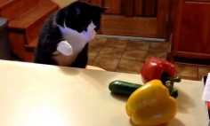 Cats Are Afraid Of Cucumbers… Here's The Funny Proof!