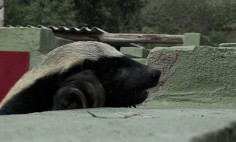 This Houdini Honey Badger Will Make Your Jaw Drop. Never Knew How Smart They Are!