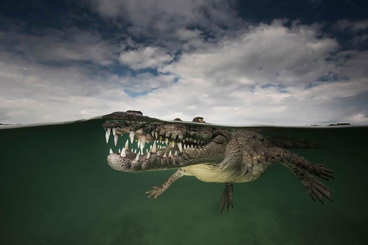 American Crocodile, Jardines De La Reina, Cuba