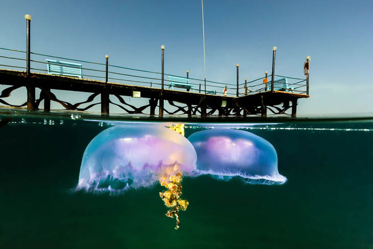 Two Moon Jellies Drifting In Shallow Water
