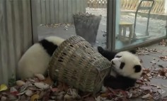 We All Know Cats Love Boxes, But Do You Know What Panda Loves More Than Sleeping?