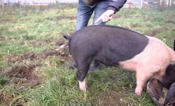 How To Straighten A Pigs Tail? You Can't Stop Laughing After This!